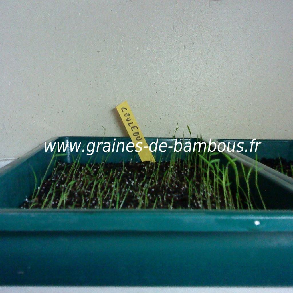 chusquea-couleou-semis-www-graines-de-bambous-fr.jpg
