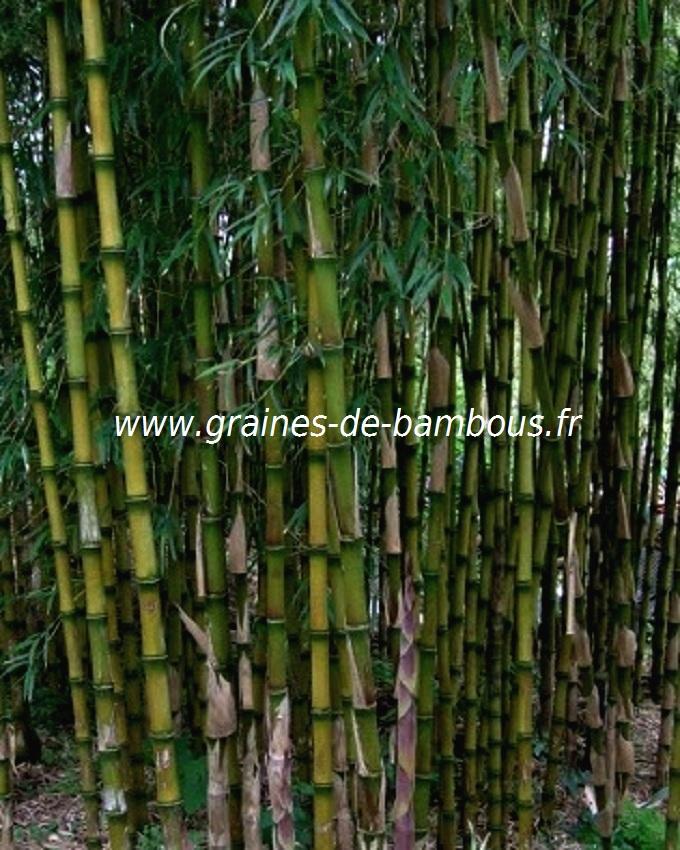 chusquea-culeou-www-graines-de-bambous-fr-6.jpg