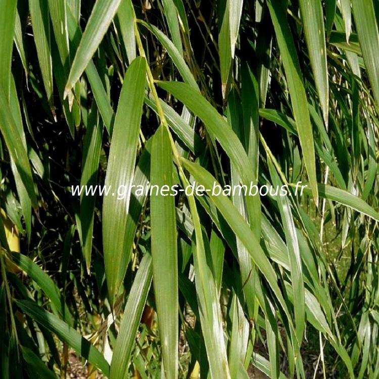chusquea-culeou-www-graines-de-bambous-fr-9.jpg