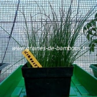 Ciboulette semis