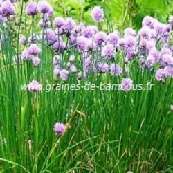 Ciboulette vivace graines de bambous fr