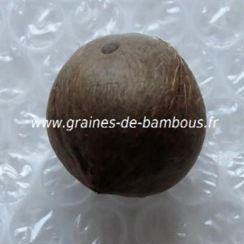 Cocotier du chili jubaea chilensis une graine