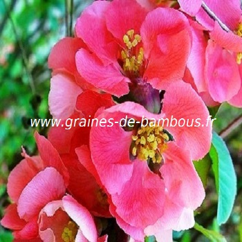 cognassier-du-japon-chaenomeles-speciosa-www-graines-de-bambous-fr.jpg