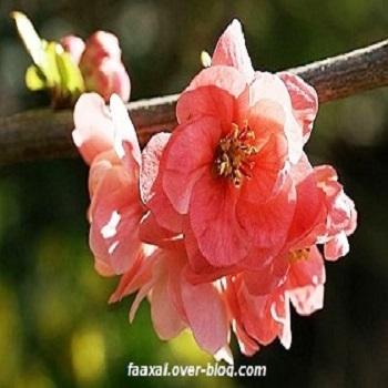 cognassier-du-japon-fleur-chaenomeles-speciosa.jpg