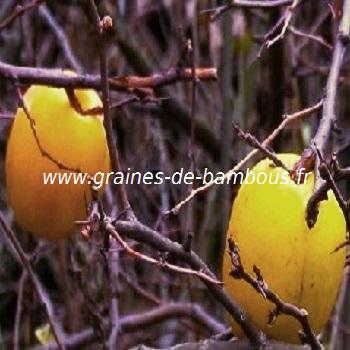 cognassier-du-japon-fruit-chaenomeles-speciosa-www-graines-de-bambous-fr.jpg
