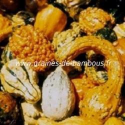 Coloquintes Mix petit et grand fruit réf.670