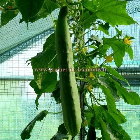 Concombre long de chine cucumis sativus