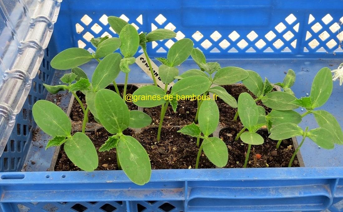Concombre vert long de chine semis