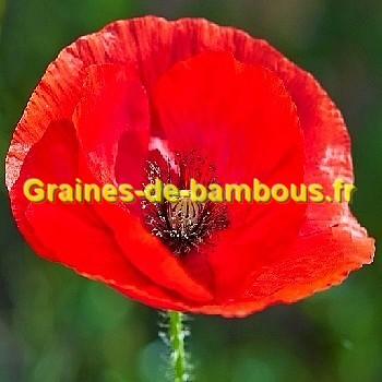 Coquelicot fleur rouge