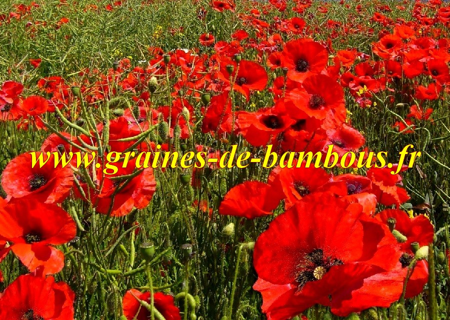 Coquelicot rouge papaver