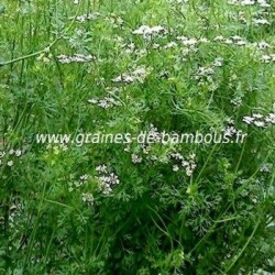 Coriandre a grosses graines www graines de bambous fr