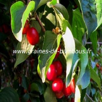 cornouille-fruit-cornus-mas-www-graines-de-bambous-fr.jpg