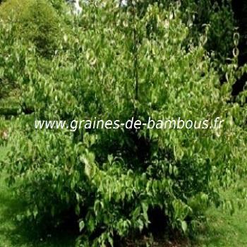 cornouiller-cornus-mas-www-graines-de-bambous-fr.jpg