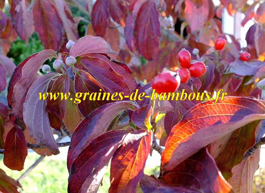 Cornouiller officinal graines feuilles et fruits
