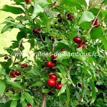 Cornouiller officinal (Cornus officinalis) réf.762