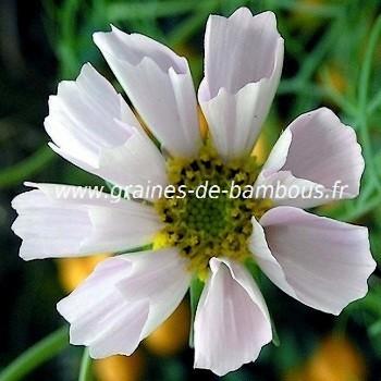 Cosmos blanc graines