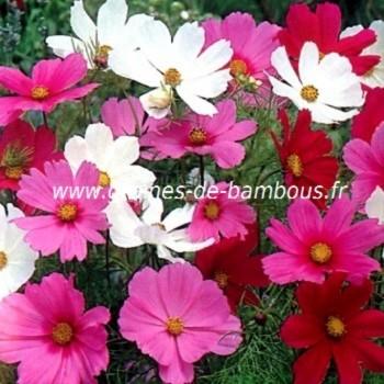 Cosmos sensation fleurs couleurs variees