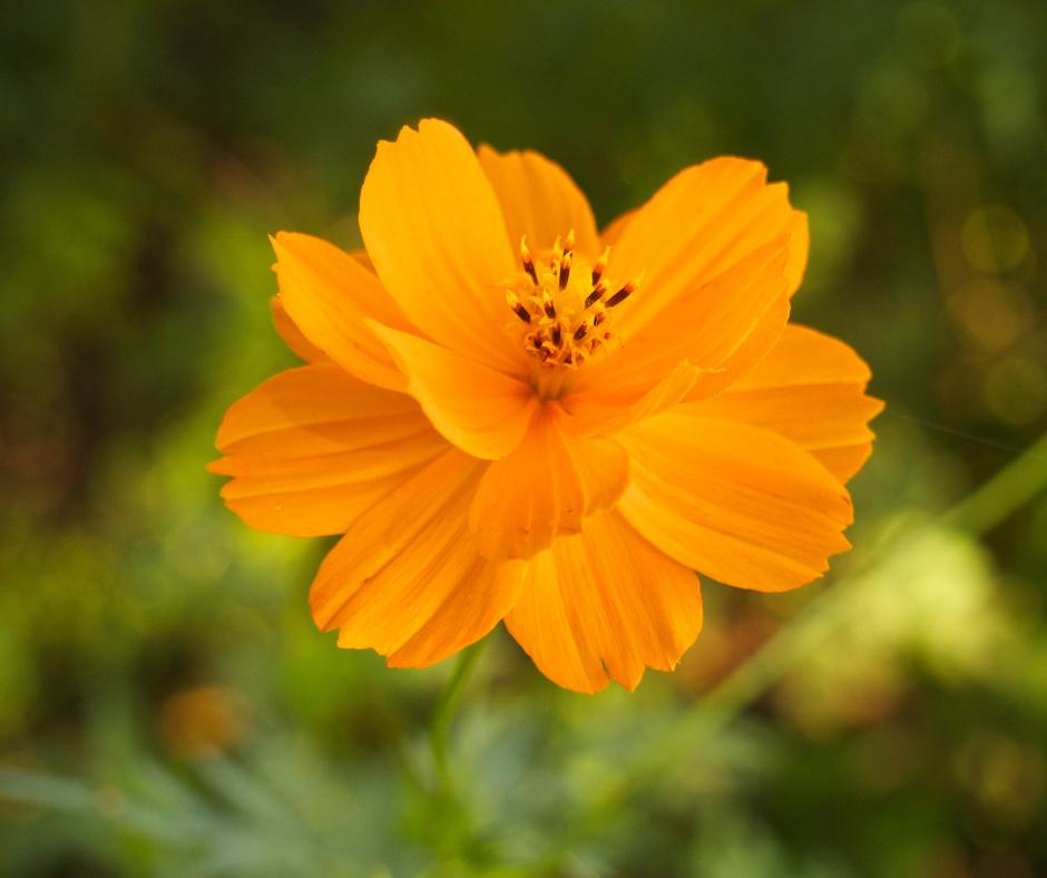 Cosmos sulphureus orangecrest