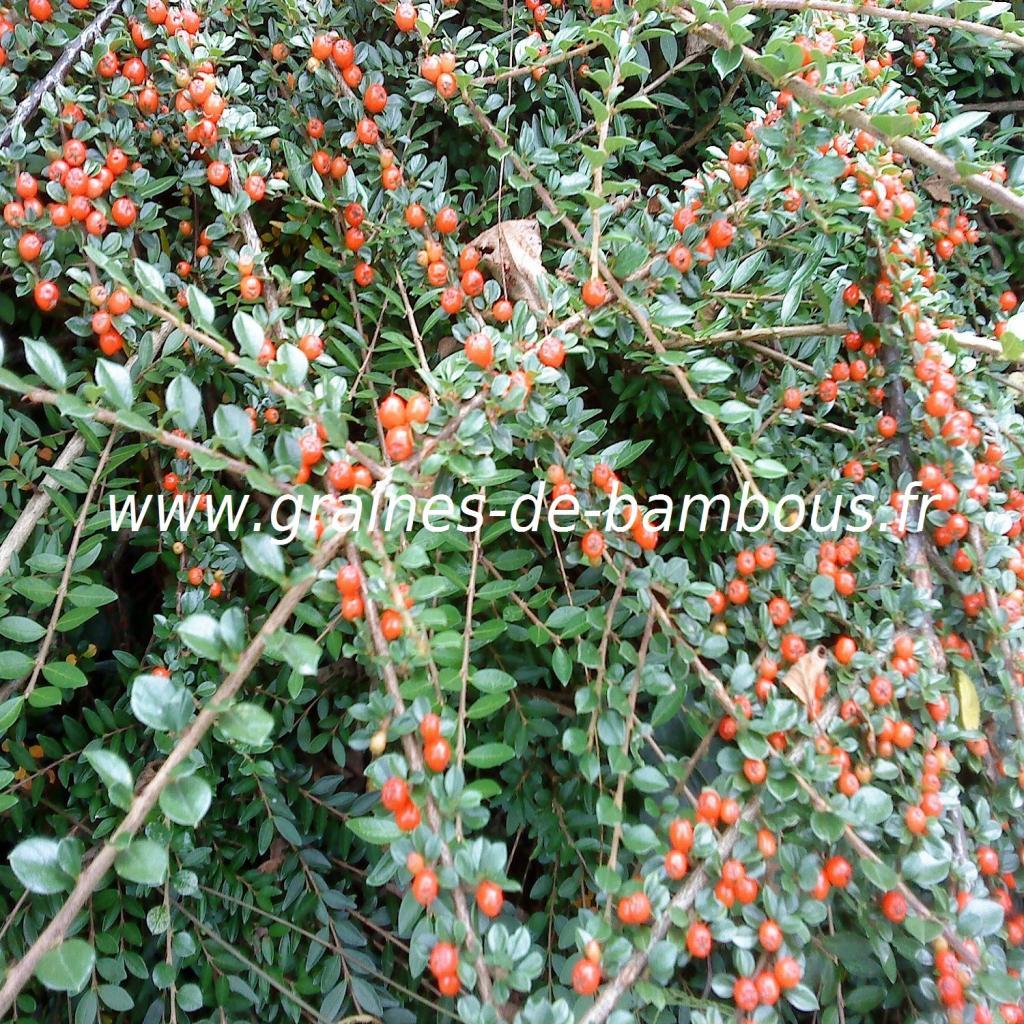cotoneaster-horizontalis-www-graines-de-bambous-fr-1.jpg