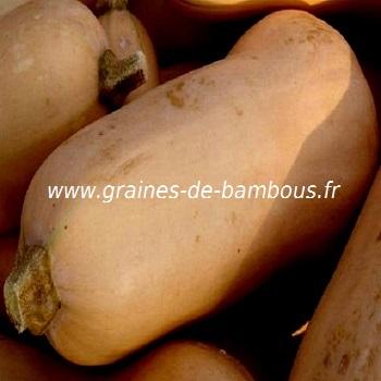 courge-doubeurre-butternut-waltham-noix-de-beurre-www-graines-de-bambous-fr.jpg