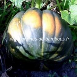 Courge musquée de Provence réf.631