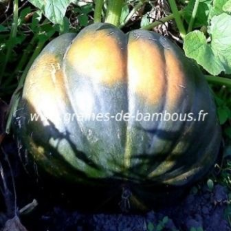 Courge musquee de provence