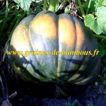 Courge musquee de provence 2011