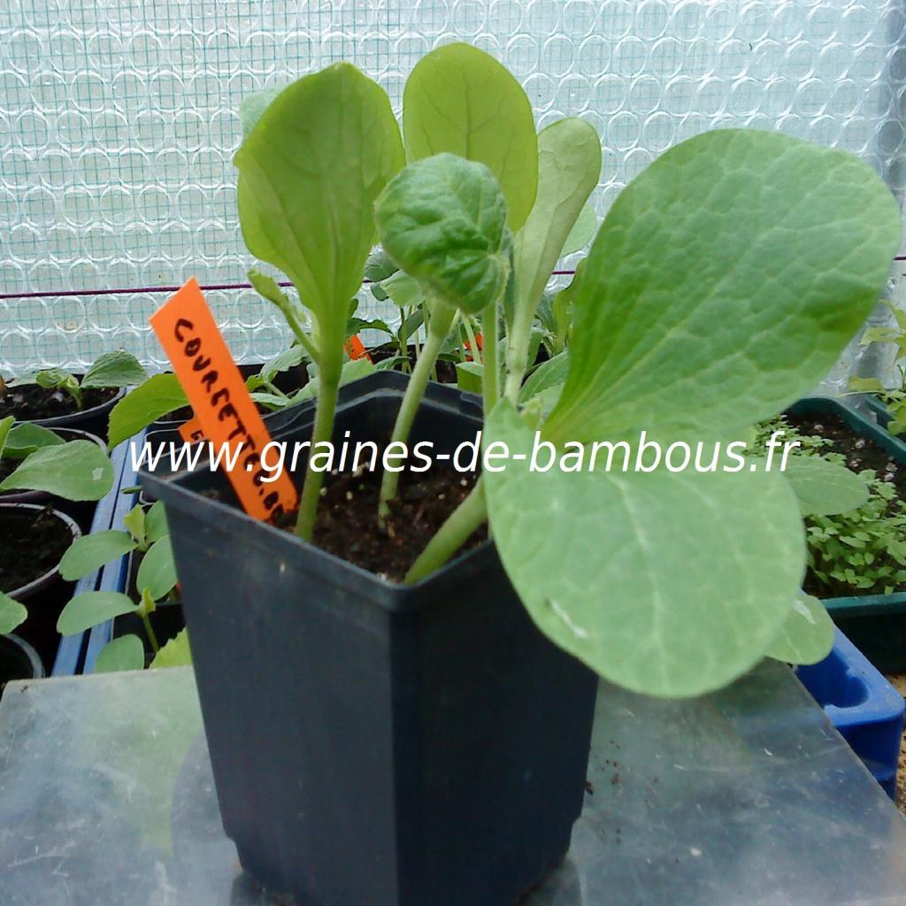 courgette-black-beauty-semis-www-graines-de-bambous-fr.jpg