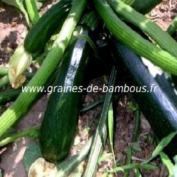 Courgette Black Beauty réf.410
