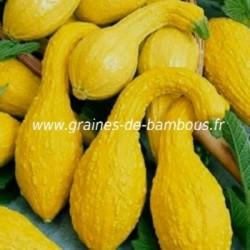 Courgette coutors jaune graines