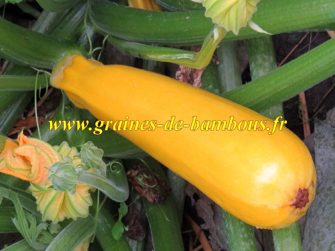 Courgette jaune graines semences