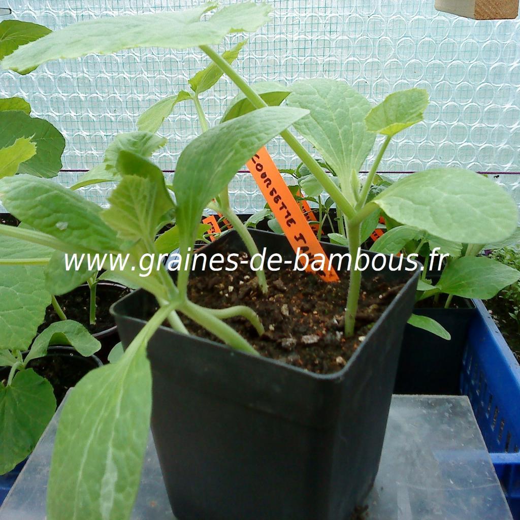 courgette-jaune-semis-www-graines-de-bambous-fr.jpg