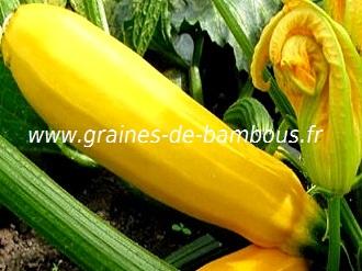 courgette-jaune-www-graines-de-bambous-fr-1.jpg