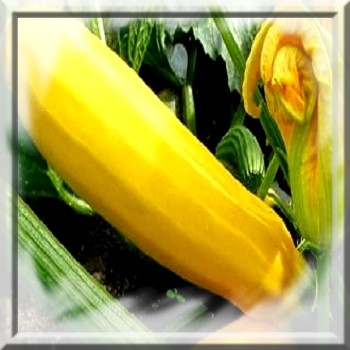 courgette-jaune-www-graines-de-bambous-fr-www-grainesdebambous-com.jpg