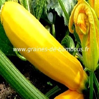 Courgette jaune réf.376