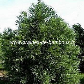 cryptomeria-japonica-arbre-sacre-du-japon-www-graines-de-bambous-fr.jpg