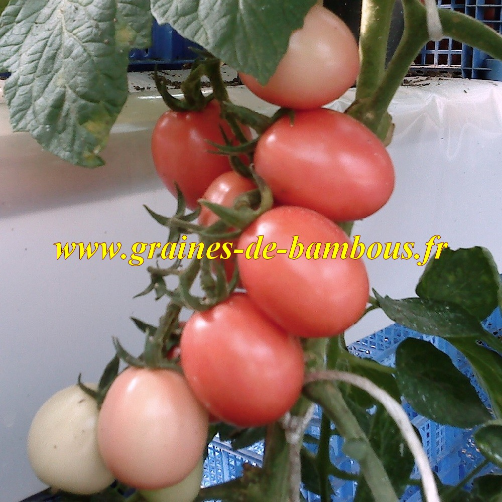 Culture tomate thai rose en serre