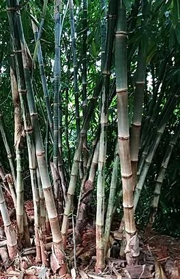 Dendrocalamus asper s1 yunnan graines de bambous fr 1