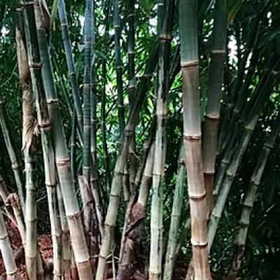 Dendrocalamus Asper S1 Yunnan 20 graines réf.319