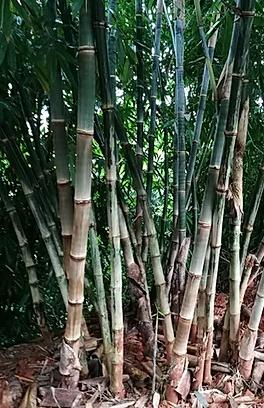Dendrocalamus asper s1 yunnan graines de bambous fr