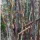 Dendrocalamus asper s2 myanmar graines de bambous fr