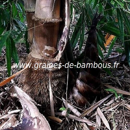 dendrocalamus-asper-www-graines-de-bambous-fr-1-1.jpg