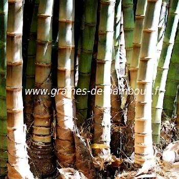 Dendrocalamus giganteus 50 graines de bambous fr