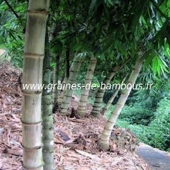 Dendrocalamus hamiltonii 20 graines 2