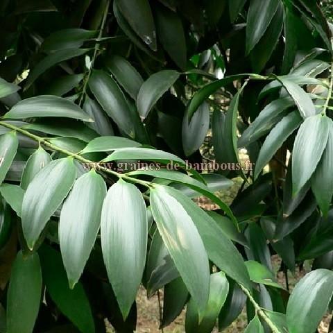 Dendrocalamus maximuslamina feuilles