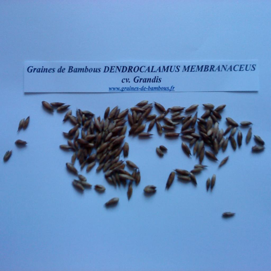 dendrocalamus-membranaceus-cv-grandis-www-graines-de-bambous-fr-1.jpg