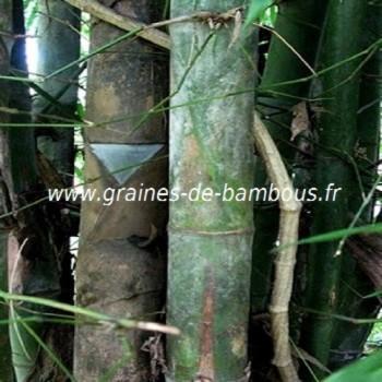 Dendrocalamus Membranaceus 50 graines réf.334a