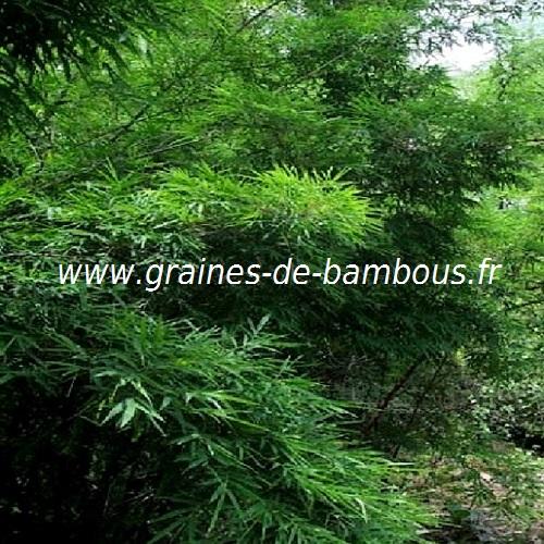 dendrocalamus-membranaceus-ww-graines-de-bambous-fr.jpg