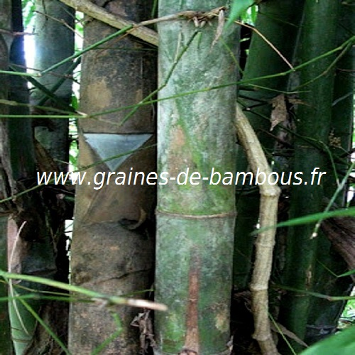 dendrocalamus-membranaceus-www-graines-de-bambous-fr-1.jpg