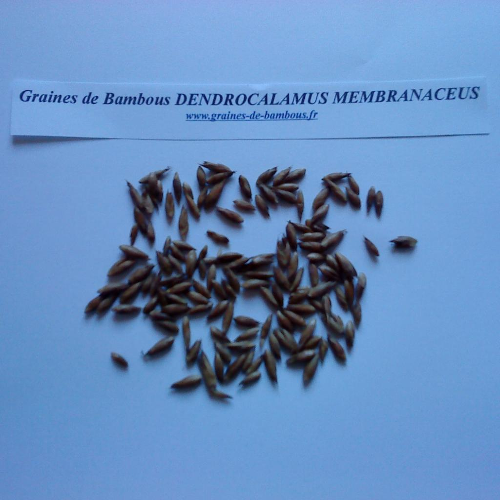 dendrocalamus-membranaceus-www-graines-de-bambous-fr-3.jpg